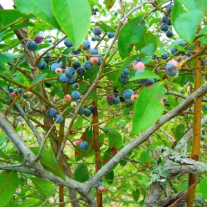 Blueberries on tree